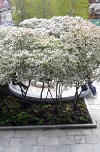 Amelanchier in bloom