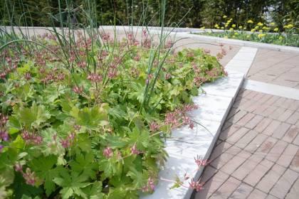 Planting tips, Colour garden, Garden of Refelction, Bishop's Palace Wells, Geranium macrorrhizum, Allium sphaerocephalon, Allium moly