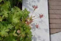 Planting tips, Colour garden, Garden of Refelction, Bishop's Palace Wells, Geranium macrorrhizum