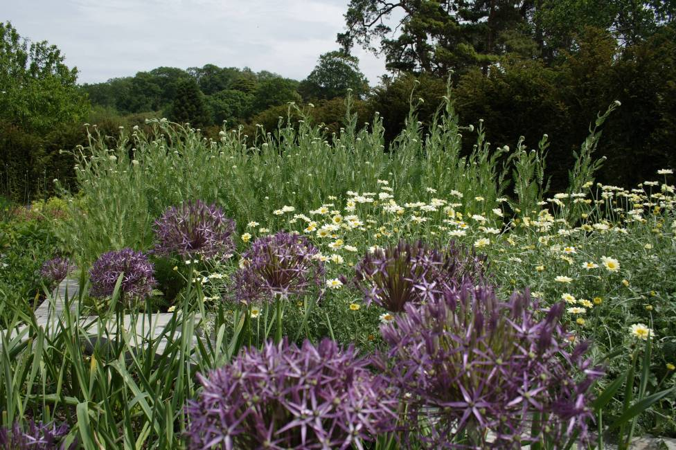 Planting tips, Colour garden, Garden of Refelction, Bishop's Palace Wells,Allium christophii, Anthemis tinctoria 'Sauce Hollandaise', Achillea 'Moonshine'